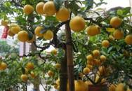 """Chanh vàng bonsai phú quý đang gây """"sốt"""" ở Thủ đô"""