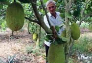 Lãi ròng hơn nửa tỷ/năm nhờ từ trồng mít Thái