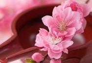 Công dụng chữa bệnh và làm đẹp tuyệt vời từ hoa đào