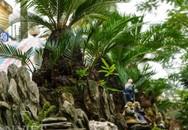 Mới lạ vạn tuế mini bonsai - vừa để chưng Tết lại hưng thịnh bền
