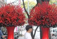 Đại gia chi hàng trăm triệu chơi hoa mai Mỹ, đông đào đỏ nhập từ Hà Lan
