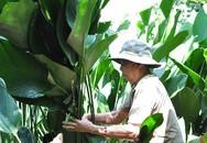 Trả 350.000 đồng mỗi ngày vẫn khó tìm người thu hoạch lá dong bán Tết