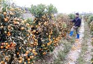 Hơn 400 cây quất cảnh phục vụ Tết bị kẻ gian phun thuốc, chết cháy