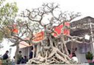 3 cây sanh tạo hình Phúc, Lộc, Thọ giá 30 tỷ đồng ở Hà Nội