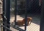 Hổ vồ chết người chăm sóc mình từ nhỏ trước sự chứng kiến của du khách