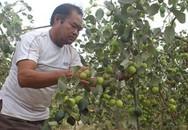 Lão nông lãi 400 triệu/năm nhờ trồng táo ngọt