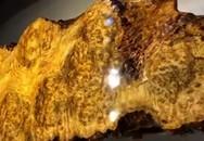 Bí ẩn bàn trà nu Long não 1.000 tuổi tỏa hương thơm ngày đêm