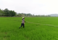 Clip: Bác nông dân bỏ chạy khi thấy flycam tới gần mình khi đang đi thăm lúa