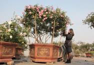 Đại gia đặt cả chậu hoa hồng giá trăm triệu dịp 8/3, cô gái 9X thu cả tỷ đồng từ vườn hồng cổ
