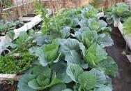 Mẹ đảm vừa trồng rau xanh mướt, vừa nuôi gà sạch trên sân thượng 40m²