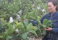 Mẹ bỉm sữa 8X trồng ổi ngắn ngày trên đất cằn kiếm 30 triệu đồng/vụ