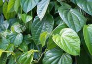 Chữa gút bằng cây lá trong vườn