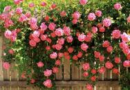 7 loài hoa hồng leo tuyệt đẹp nên có mặt trong vườn của bạn