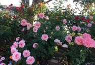 Cách chăm sóc hoa hồng ngày nóng 40 độ C của mẹ Việt tại Australia