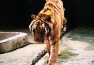 Thêm một nhân viên sở thú bị hổ vồ đến chết