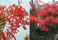 Tháng năm rực rỡ: Lan huyết nhung nở đỏ rộ như hoa phượng vĩ trước sân nhà