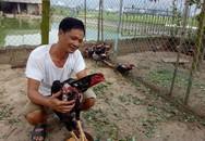 Nghĩ nuôi chơi chơi mà ông nông dân đổi đời nhờ gà chọi