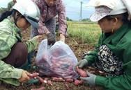 Giá khoai lang Nhật chỉ còn 1.000 đồng/kg, tư thương vứt bỏ cả bãi