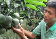 """Lão nông """"khùng"""" thu tiền tỷ nhờ trồng cam sành…dày đặc"""