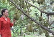Mở vườn cây ăn trái cho du khách hái ăn, lãi 250 triệu/năm