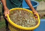 Kiếm 1,5 tỷ mỗi năm nhờ nuôi tôm... khác người