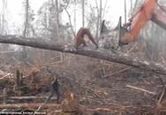 Xót xa cảnh đười ươi dùng thân mình bảo vệ rừng bị con người đốn hạ