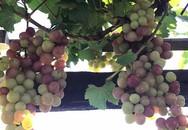 Mẹ hai con trồng cả 'vựa trái cây' trên sân thượng 68 m2
