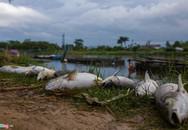 Cá chết hàng loạt vì sốc nhiệt, người nuôi ở Huế mất bạc tỷ