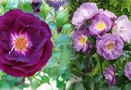 """Bật mí cách chăm sóc cây hoa hồng tím quý hiếm """"chuẩn chỉnh"""", ra hoa đẹp mĩ mãn"""