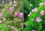 Muốn có hàng rào hoa đẹp tuyệt mà sống khỏe dễ chăm, trồng ngay hoa hồng dại