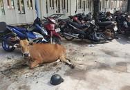 Hi hữu: Bắt giam con bò vì gây tai nạn nghiêm trọng