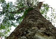 Vườn cao su 112 năm tuổi của người Pháp còn sót lại ở Việt Nam