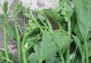 Những loại rau quả mùa hè được bơm thuốc để lớn thần tốc trong đêm
