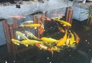 Tận mắt ngắm đàn cá Koi bạc tỷ độc nhất Sơn La của 'đại gia' phố núi