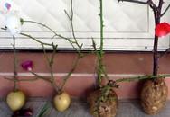 Cắm cành hồng vào củ khoai tây, 1 tuần sau ai nấy đều ngạc nhiên khi thấy kết quả