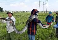 Nông dân bắt được trăn dài 2,5 m lúc gặt lúa