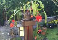"""""""Đại gia hoa quỳnh"""" trên đất Mỹ chỉ cách trồng hoa nhật quỳnh từ lá"""