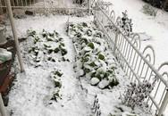 Tuyết đầu mùa phủ trắng vườn cải sau nhà của mẹ Việt hai con ở Nhật