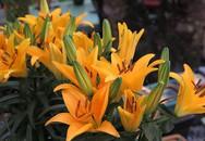 Muốn có hoa ly lùn chơi Tết, học ngay mẹo trồng và chăm sóc cực đơn giản dưới đây