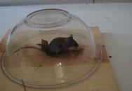 Úp ngược chiếc bát cũ là bạn đã có bẫy chuột cực hiệu quả mà người xưa đã dùng từ mấy trăm năm
