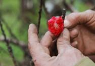 Vườn đào cho khách thuê 60 triệu đồng một chậu lắp điều hòa chống rét cho cây dịp cận Tết
