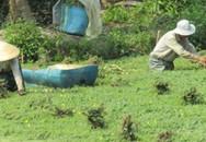 U50 trồng loài rau nổi trên mặt nước, lớn như thổi, thành tỷ phú