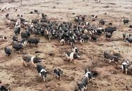"""""""Đột nhập"""" trang trại lợn hương trị giá hơn 1 tỷ đồng chuẩn bị phục vụ Tết Kỷ Hợi"""
