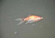 Cá chép vàng chết nổi khi vừa được thả xuống hồ Hoàng Cầu ngày ông Công ông Táo