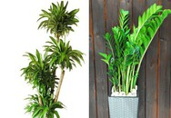 Hai loài cây nghe tên đã thấy phát tài bạn nhất định phải mua về chưng trong năm mới