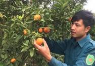 Chàng trai Mộc Châu bỏ dở đại học về trồng cam Canh lãi 600 triệu mỗi năm