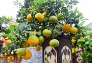 Bưởi bonsai giá nghìn USD bất ngờ hút khách dịp sát Tết cổ truyền