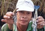 Tôm to nuôi trong ruộng lúa, bán 150-250 ngàn/kg