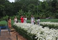 Giới trẻ chen chân chụp ảnh tại vườn cúc họa mi nở sớm nhất Hà Nội
