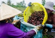Nông dân miền Tây lội ruộng thu hoạch củ ấu